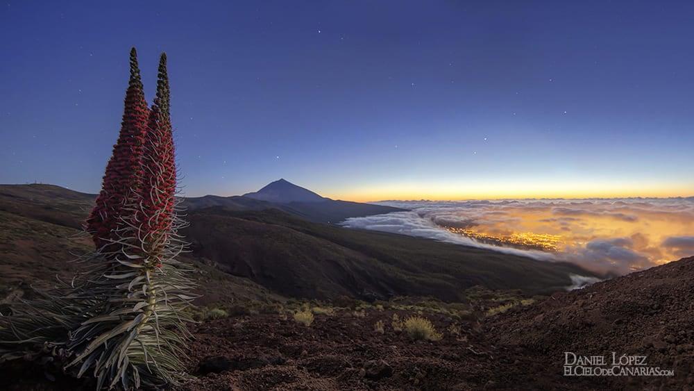 Tajinaste rojo en el Parque Nacional del Teide